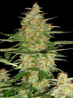 DNA Genetics - 60 Day Wonder Feminised Autoflowering Single Cannabis Seed