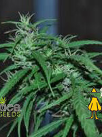 Ace Seeds - Green Haze Thai Regular Cannabis Seeds