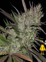 Ace Seeds - Pakistan Chitral Kush Regular Cannabis Seeds