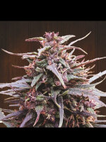 Ace Seeds - Purple Haze x Malawi Regular Cannabis Seeds