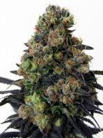 Ripper Seeds - Acid Dough Feminised Cannabis Seeds