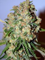 Advanced Seeds - Critical Feminised Cannabis Seeds
