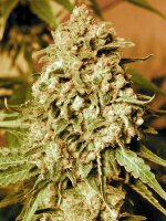 Advanced Seeds - Somango Widow Feminised Cannabis Seeds