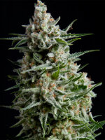 Pyramid Seeds - Auto Anesthesia Feminised Autoflowering Single Cannabis Seed