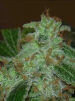 Archive Seeds - Mr Dank's Golden Ticket Regular Cannabis Seeds