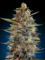 Advanced Seeds - Automatic Collection #2 Feminised Cannabis Seeds