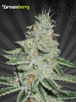 Auto Seeds - Dreamberry Feminised Autoflowering Cannabis Seeds