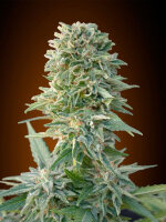 Advanced Seeds - Automatic Collection #1 Feminised Cannabis Seeds