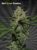 Auto Seeds - Girl Scout Cookies Autoflowering Feminised Cannabis Seeds