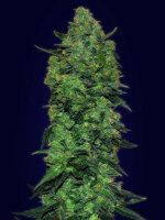 Advanced Seeds - Automatic Collection #3 Feminised Cannabis Seeds