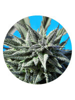 Top Tao Seeds - Auto Tao Blueberry 5 Regular Autoflowering Cannabis Seeds