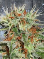 Ministry of Cannabis - Auto Mary Jane Feminised Autoflowering Cannabis Seeds