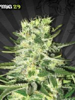 Auto Seeds - MiG-29 Feminised Autoflowering Cannabis Seeds