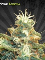 Auto Seeds - Polar Express Feminised Autoflowering Cannabis Seeds
