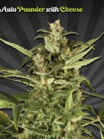 Auto Seeds - Juicy Lucy Feminised Autoflowering Cannabis Seeds