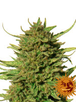 Barneys Farm - Critical Kush Regular Cannabis Seeds