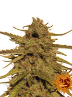 Barneys Farm - Pineapple Haze Regular Cannabis Seeds