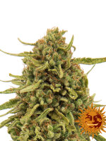 Barneys Farm - Widow Remedy Regular Cannabis Seeds