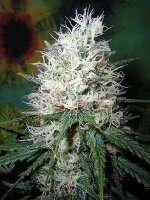 British Columbia Seeds - Afghani Dream Regular Cannabis Seeds