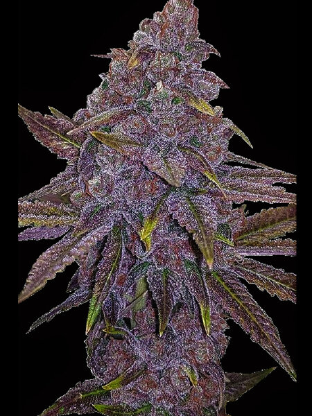 Big Head Seeds - Sherbert Dab Feminised Cannabis Seeds