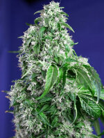Sweet Seeds - Big Devil Collection Feminised Cannabis Seeds