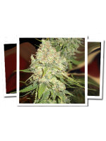 Emerald Triangle Seeds - Blackberry OG CBD Feminised Cannabis Seeds