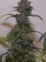 Hazeman Seeds - Black Russian Regular Cannabis Seeds