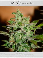 BlimBurn Seeds BCN Range - Sticky Wonder Feminised Cannabis Seeds