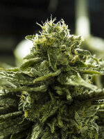 Moxie Seeds - Blue Diamond Phillips 12 Regular Cannabis Seeds