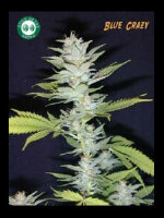 Good House Seeds - Blue Crazy Regular Cannabis Seeds