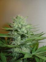 Homegrown Fantaseeds - Blue Pearl Auto Feminised Autoflowering Cannabis Seeds