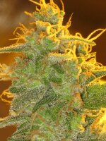 Bodhi Seeds - Buddha's Hand Regular Cannabis Seeds