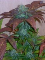 Hazeman Seeds - Breakout Regular Cannabis Seeds