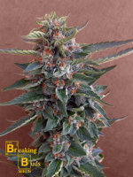 Breaking Buds Seeds - Chocolate Cookies Feminised Cannabis Seeds