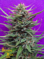 Breaking Buds Seeds - Cream Crystal Meth Feminised Cannabis Seeds