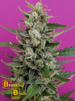 Breaking Buds Seeds - Strawberry Cream Feminised Cannabis Seeds