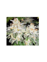 Dark Horse Genetics - Bruce Banner BX 2.0 10 Regular Cannabis Seeds