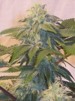 Hazeman Seeds - Bubba's Widow Regular Cannabis Seeds