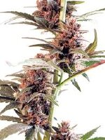 Cannabiogen - Sandstorm Feminised Cannabis Seeds