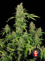 Serious Seeds - CBD Chronic 6 Feminised Cannabis Seeds
