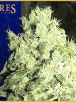 Ceres Seeds - White Indica Regular Cannabis Seeds