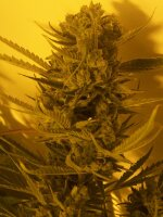 Hazeman Seeds - Cheese BX1 Regular Cannabis Seeds