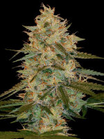 DNA Genetics - Chocolope Kush Feminised Single Cannabis Seed