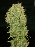 DNA Genetics - Chocolope Feminised Cannabis Seeds