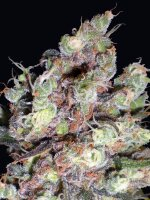 Delicious Seeds - Cotton Candy Feminised Cannabis Seeds