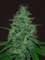 Cream of the Crop - Cropical Fruit Autoflowering Feminised Single Cannabis Seed