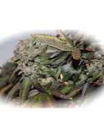 Dark Horse Genetics - Hulk Smash Regular Cannabis Seeds 10 Pack