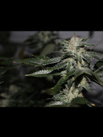 Dark Horse Genetics - Original Bruce Banner Regular Cannabis Seeds