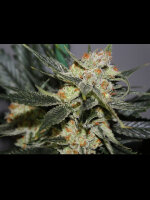 Dark Horse Genetics - Strawberry Shortcake Regular Cannabis Seeds 10 Pack