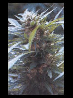 Good House Seeds - Dator Regular Cannabis Seeds